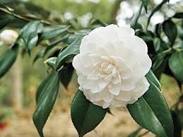 camellia flowers the complete guide to camellias southern living