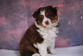 australian shepherd with tail for sale past dogs miniature australian shepherd breeders mini toy