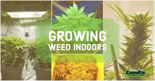 plants to grow indoors how to grow weed indoors a beginner u0027s guide