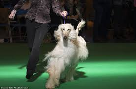 afghan hound giving birth thousands of dogs arrive at birmingham u0027s nec for crufts daily