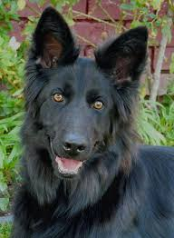 belgian shepherd rescue dogs westside german shepherd rescue of los angeles