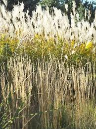 149 best garden grasses ornamental images on