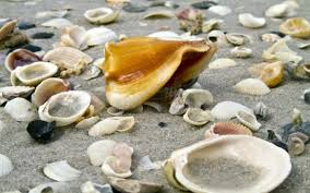 where to buy seashells how are sea shells formed wonderopolis