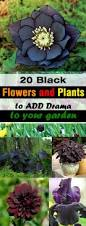 list of fall flowers 20 black flowers and plants to add drama to your garden balcony