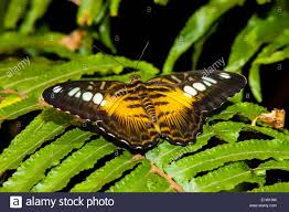 eastern and western ghats butterfly western ghats stock photos u0026 butterfly western ghats