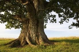 trees used to make furniture hunker