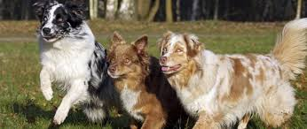 is an australian shepherd smart purebred star australian shepherd the smart living network