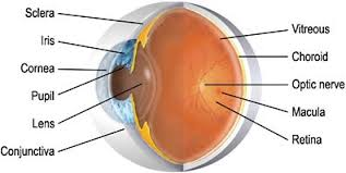 What Structure Of The Eye Focuses Light On The Retina Eye And Its Function