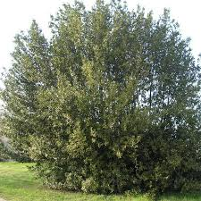 laurier cuisine laurier sauce laurus nobilis vente arbre et arbuste pépinières