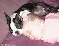 Boston Terrier Meme - so cute zzzzzz aww cute animal meme boston terrier love