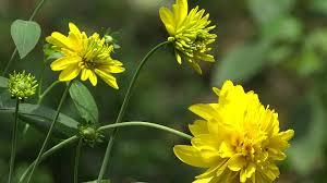 yellow flowers kerala yellow flowers