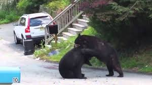 two black bears in nj have a badass street fight starring kimbo