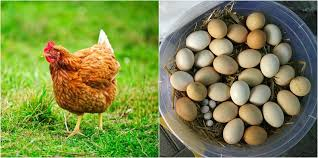 What To Feed Backyard Chickens by Convincing Reasons To Keep Backyard Chickens