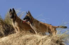 belgian shepherd malinois temperament belgian malinois australian dog lover