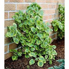 shop monrovia 1 6 gallon mirranda climbing hydrangea at lowes com