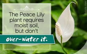 Peace Lily Plant Quick Diy Tips To Care For The Gorgeous Peace Lily Plant