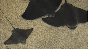 bat ray sandy seafloor fishes myliobatis californica at the