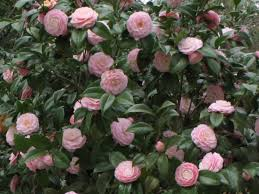 Shade Garden Vegetables by Camellia Japonica U0027pink Perfection U0027 Great As Shade Plant For Side