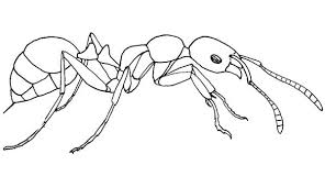 meat eater ant colouring happy colouring