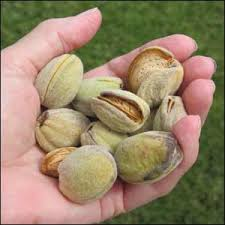 almond tree buy alomnd trees grow your own almonds