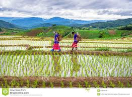 Hmong Map Hmong Woman With Rice Field Terrace Background Editorial