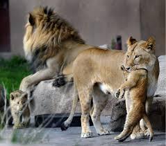 Zoo Lights Utah Hogle Zoo by Hogle Zoo U0027s Adorable New Lion Cubs Meet The World The Salt Lake