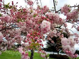 the is near kwanzan ornamental flowering cherry tr flickr