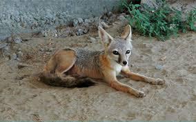 san joaquin kit fox cdfw news