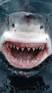 194 best s h a r k s images on pinterest shark week great white