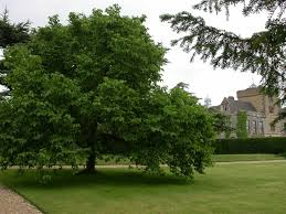 mulberry tree pictures images photos of mulberry trees