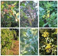 native hedgerow plants the dry garden flowering shrubs prove that hedges don u0027t have to