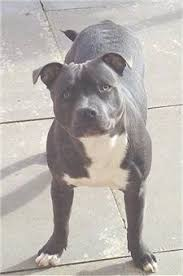 american pitbull terrier 7 months staffordshire bull terrier dog breed information and pictures