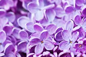 lilac flowers february sheer lilac sheer awareness the willpower method