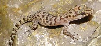 growing more butterflies in south east queensland gecko hills to the herpetofauna of timor leste a first report