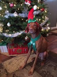 836 best vizsla images on hungarian vizsla dogs