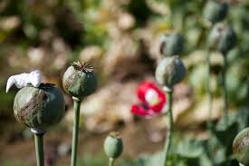 opium u s occupation leads to all time high afghan opium production