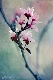 103 best cherry blossom tree images on pinterest blossom trees