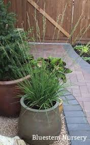 miscanthus nepalensis 3 ornamental grass plants in 9cm pots cm