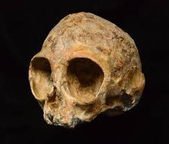 amazing 13 million year old ape skull discovered
