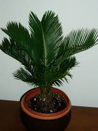 plants native to japan palm type house plants palm was native to the tropics from