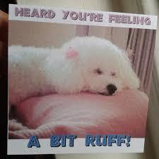 bichon frise funny sweet puppy dog bichon frise get well card