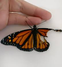 costume designer performs surgery on monarch butterfly with broken