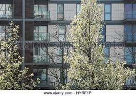 a callery pear tree pyrus calleryana aristocrat rosaceae with