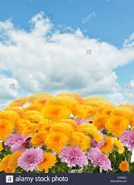 mums flowers against a blue sky stock photo royalty free image
