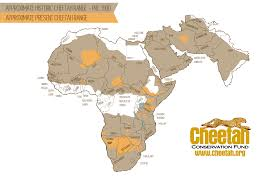 race for survival cheetah conservation fund cheetah