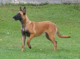 training a belgian sheepdog belgian malinois info temperment care puppies pictures training