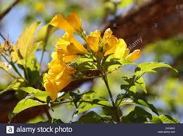 madagascar native plants yellow elder tree tecoma stans bignoniaceae native to the