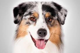 australian shepherd outline australian shepherd dog breed information american kennel club