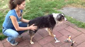 3 4 australian shepherd 1 4 blue heeler grooming an australian shepherd buy an undercoat rake youtube