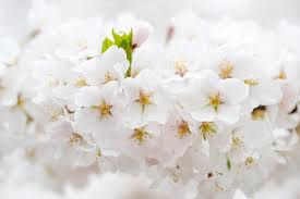 white cherry blossom washington dc cherry blossoms a photo timeline